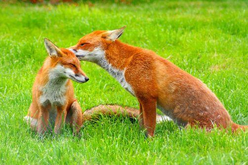 1280px-red_fox_vulpes_vulpes_-british_wildlife_centre-8